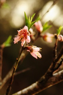 Peach Tree 4